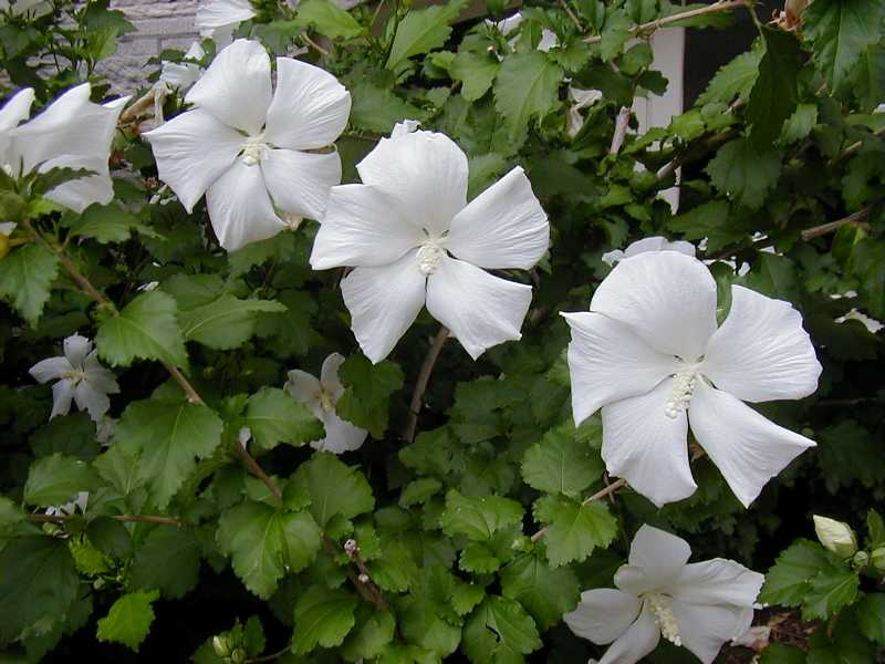 hibiscus syriacus 39 diana 39 plantes ext rieures. Black Bedroom Furniture Sets. Home Design Ideas