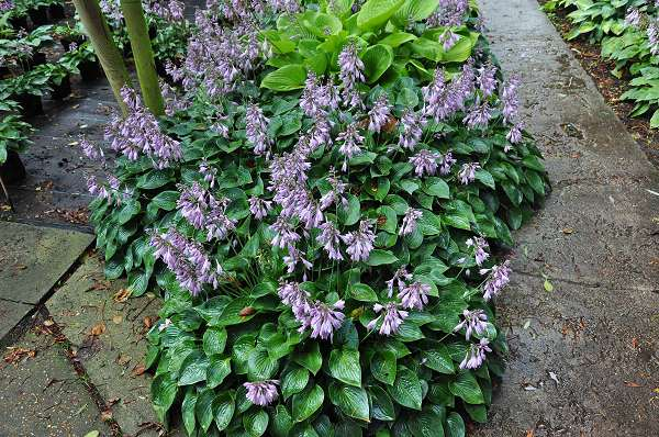 HOSTA 'Blue Cadet'