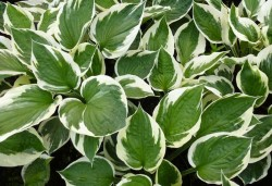 HOSTA fortunei 'Patriot