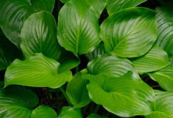 HOSTA plantaginea 'Grandifora'