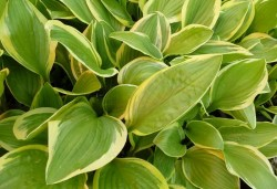 HOSTA 'Bill Brinka'