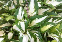 HOSTA 'Christmas Candy' ®