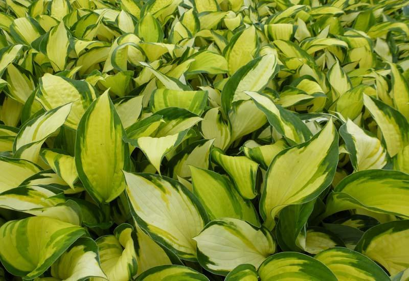 HOSTA 'Color Festival' ®