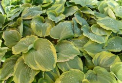 HOSTA 'Earth Angel' ®