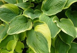 HOSTA 'Fragrant Dream'