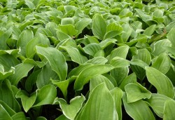 HOSTA 'Fragrant Fire'