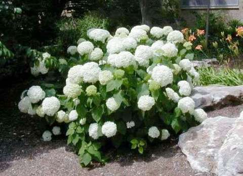hydrangea arborescens 39 annabelle 39 jardin sur terrasse. Black Bedroom Furniture Sets. Home Design Ideas