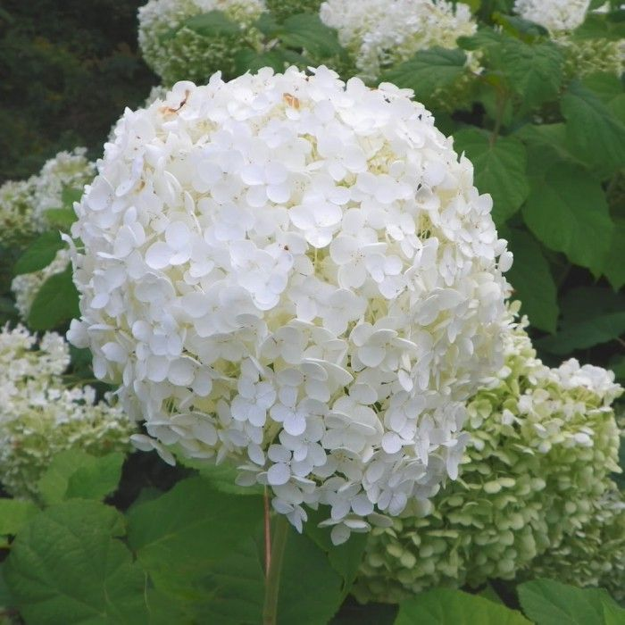 hydrangea arborescens 39 grandiflora 39 plantes ext rieures. Black Bedroom Furniture Sets. Home Design Ideas