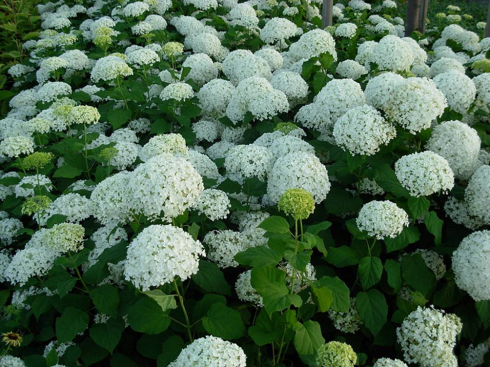 HYDRANGEA arborescens 'Incrediball'®