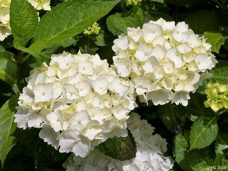 hydrangea 39 blanc 39 plantes ext rieures. Black Bedroom Furniture Sets. Home Design Ideas