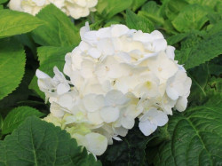 HYDRANGEA macrophylla Endless Summer 'The Bride'®