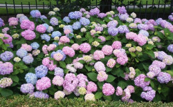 HYDRANGEA macrophylla Endless Summer 'The Original'®