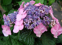 HYDRANGEA macrophylla Endless Summer 'Twist-n-Shout'®