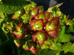 HYDRANGEA macrophylla 'Green Shadow'®
