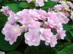 HYDRANGEA macrophylla You and Me 'Romance'®