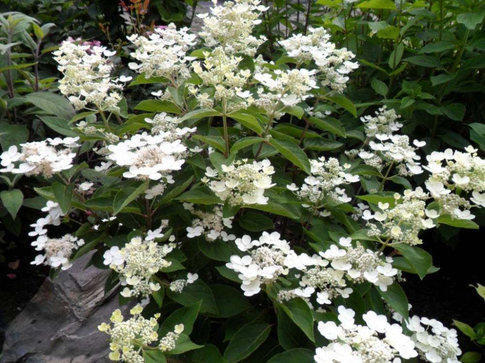 hydrangea paniculata 39 dharuma 39 plantes ext rieures. Black Bedroom Furniture Sets. Home Design Ideas