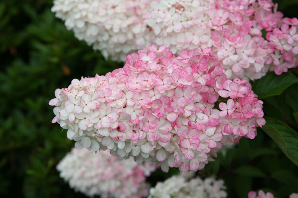 hydrangea paniculata 39 vanille fraise 39 plantes ext rieures. Black Bedroom Furniture Sets. Home Design Ideas