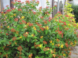 HYPERICUM inodorum 'Orange Flair'
