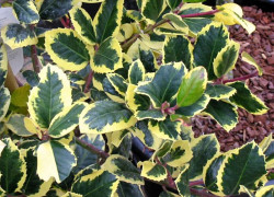 ILEX altaclerensis 'Golden King'