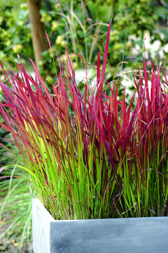 Imperata cylindrica 39 red baron 39 plantes ext rieures - Imperata cylindrica red baron ...