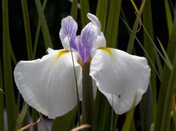 IRIS ensata 'Emotion'