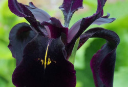 IRIS germanica 'Black Knight'