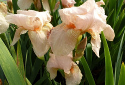 IRIS germanica 'Pink Horizon'