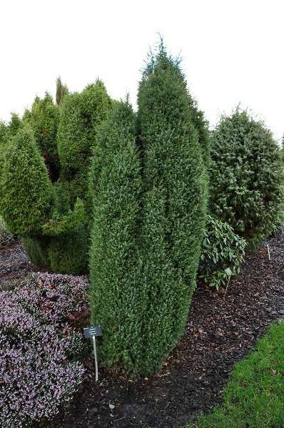 juniperus communis 39 hibernica 39 plantes ext rieures. Black Bedroom Furniture Sets. Home Design Ideas