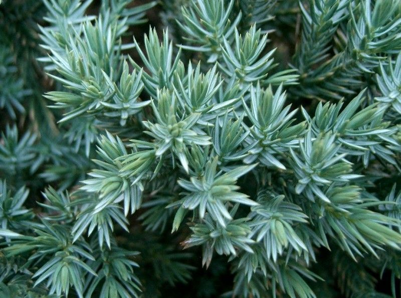 JUNIPERUS squamata 'Blue Carpet' JUNIPERUS squamata 'Blue Carpet' ...