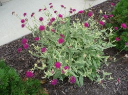 KNAUTIA macedonica 'Thunder of Lightning'®