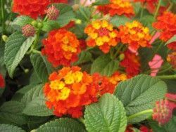 LANTANA orange sur tige