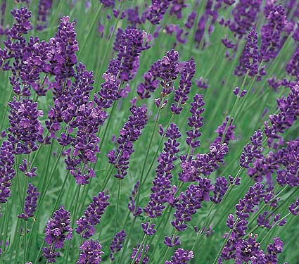 lavandula angustifolia 39 munstead 39 plantes ext rieures. Black Bedroom Furniture Sets. Home Design Ideas