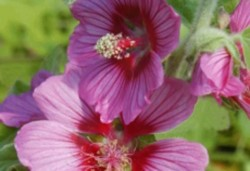 LAVATERA 'Eye Catcher'
