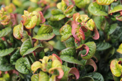 LEUCOTHOE axillaris 'Curly Red'®