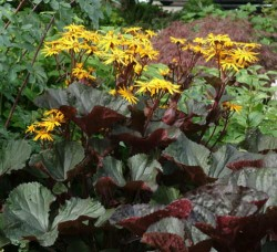 LIGULARIA dentata 'Britt-Marie Crawford'®