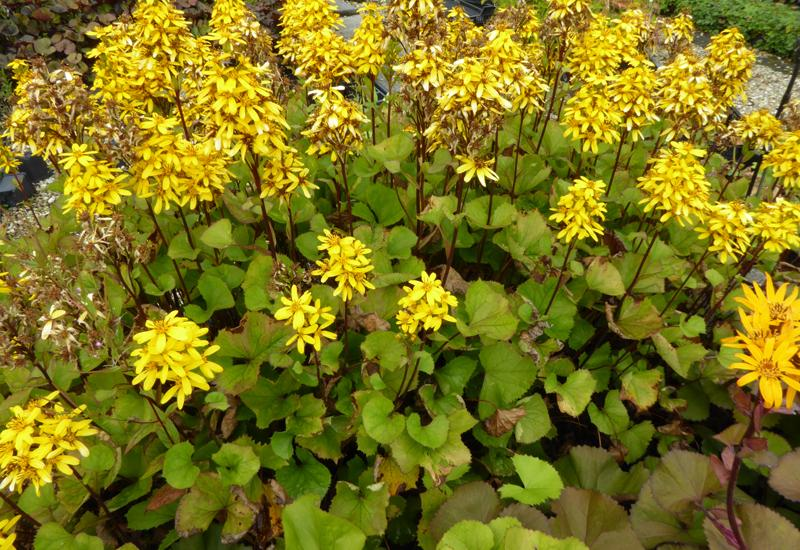 Ligularia 39 little rocket 39 plantes vivaces for Prix plantes vivaces