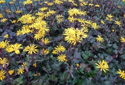 LIGULARIA 'Osiris Cafe Noir'®