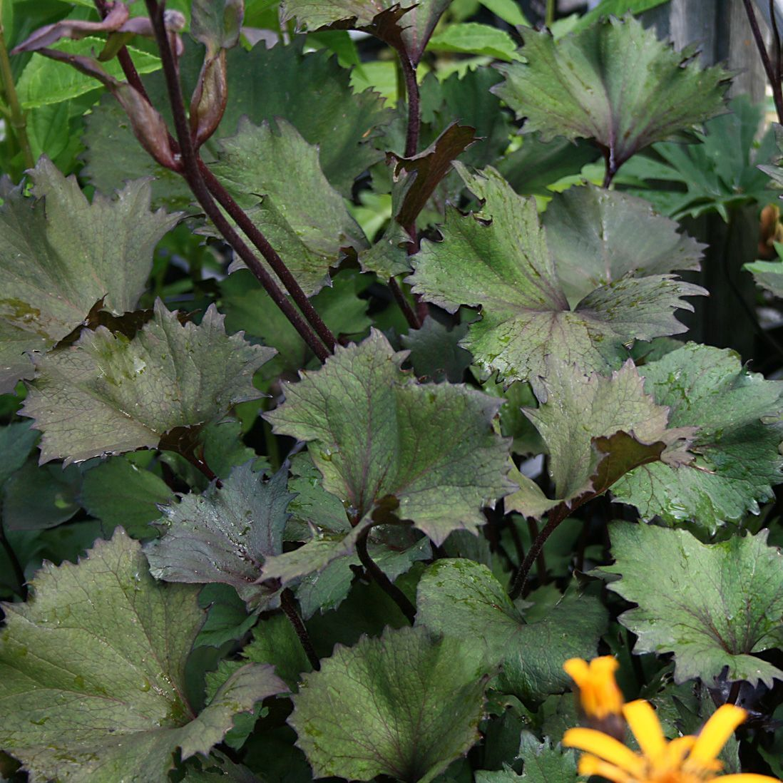 ligularia 'osiris cafe noir'® - plantes vivaces