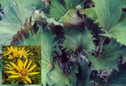 LIGULARIA 'Osiris Fantaisie'®