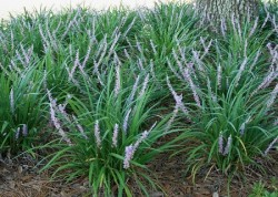 LIRIOPE muscari 'Evergreen Giant'