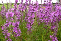 LYTHRUM salicaria 'Lady Sackville'