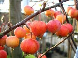 MALUS X 'Evereste' Perpetu ®
