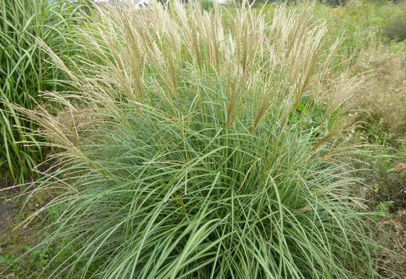 miscanthus sinensis 39 arabesque 39 plantes ext rieures. Black Bedroom Furniture Sets. Home Design Ideas