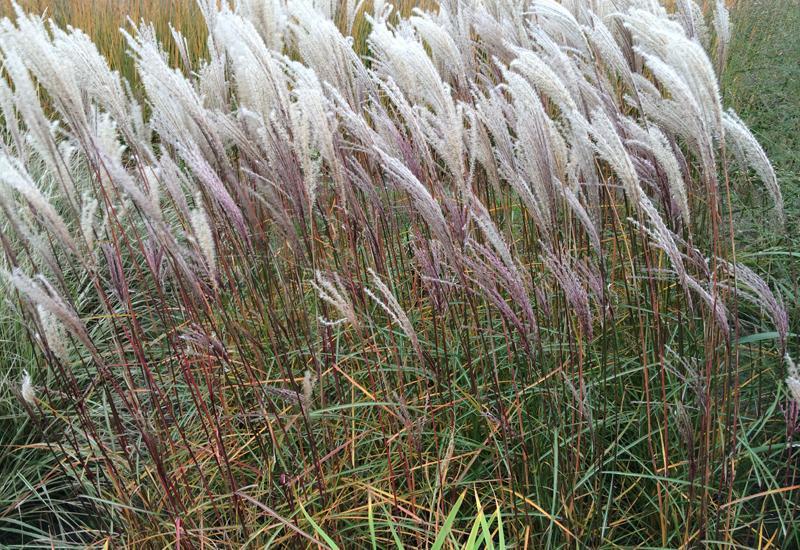 MISCANTHUS sinensis 'Nippon'