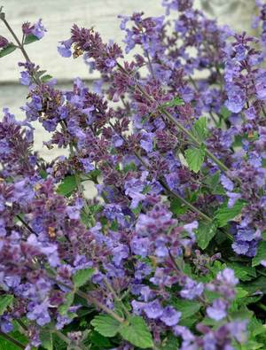 NEPETA faassenii 'Kit Cat'