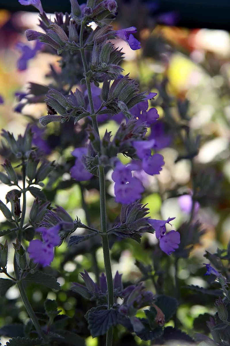 NEPETA faassenii 'Walker's Low'