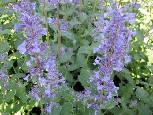 NEPETA grandiflora 'Summer Magic'