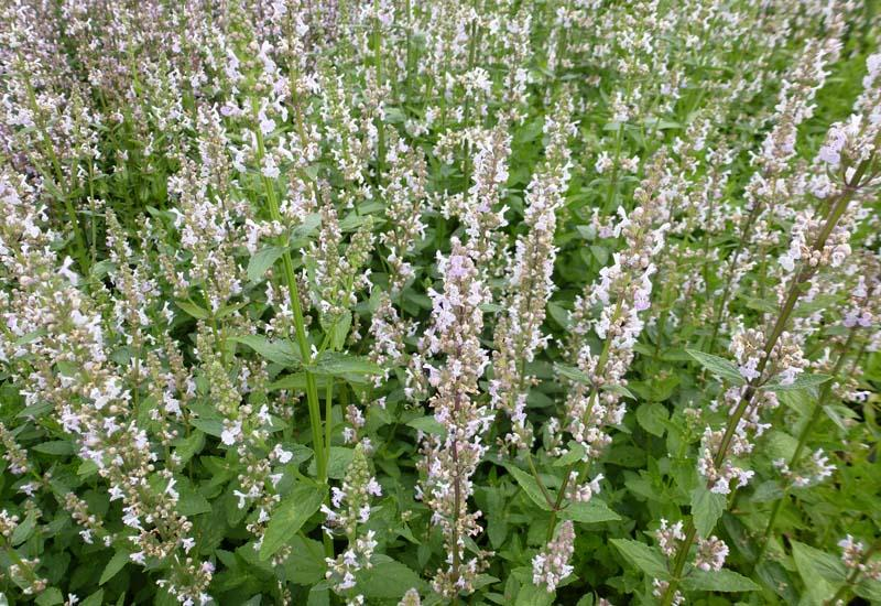 NEPETA nuda 'Anne's Choice'