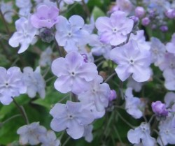 OMPHALODES cappadocica 'Lilac Mist'®