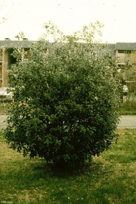 OSMANTHUS fortunei